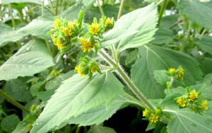 siegesbeckia pubescens